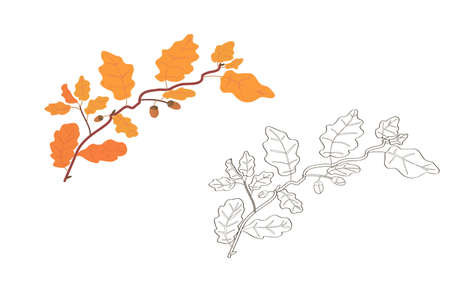 oak branch vector. oak leaves. fall. acorns. yellow autumn foliage. coloring book for children. plants and trees.golden leaves. black and white and color options