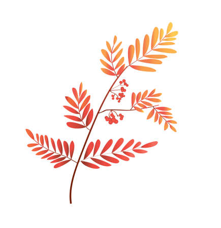 rowan branch in gradient color. autumn foliage. rowan berries. vector