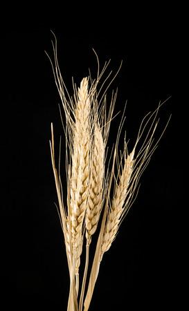 barley head: wheat isolated on black background