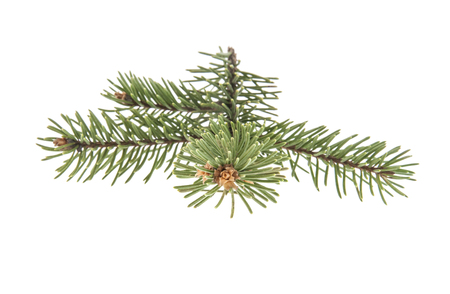 Pine branch isolated on white background Stock Photo