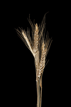 wheat spike isolated on a black background Stock Photo