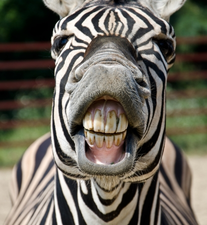 animales safari: Zebra sonrisa y dientes Foto de archivo