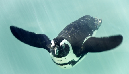 African penguin - spheniscus demersus photo