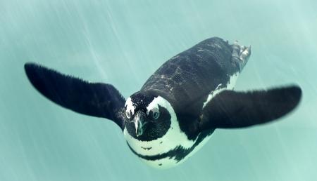 swimming bird: African penguin - spheniscus demersus