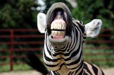 zebra head: Zebra smile and teeth