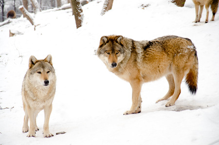 Two wolves standing in the forest photo