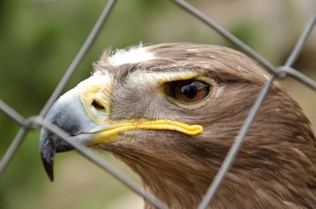 aquila: Aquila nipalensis - Steppe eagle
