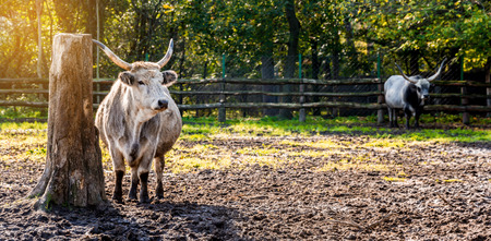 Hungarian grey cattle standing in the field photo