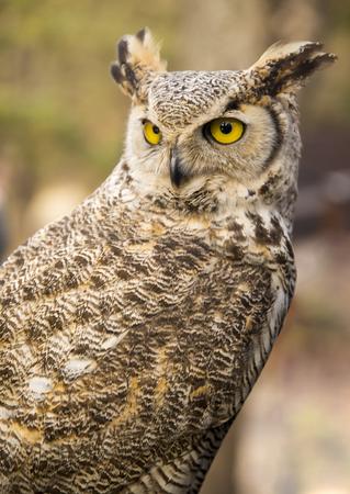 virginianus: Bubo virginianus virginianus - Owl