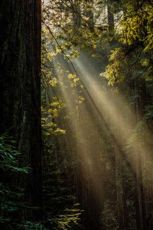 ミュアウッズ国定公園でそびえ立つの沿岸レッドウッドの木 々の間を太陽ストリーム