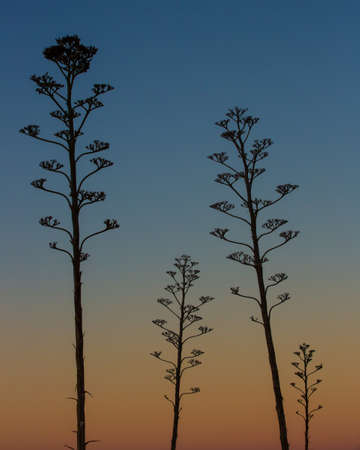 century plant: Century plant stocks silhouetted by the evening sky in Southern Arizona  Stock Photo