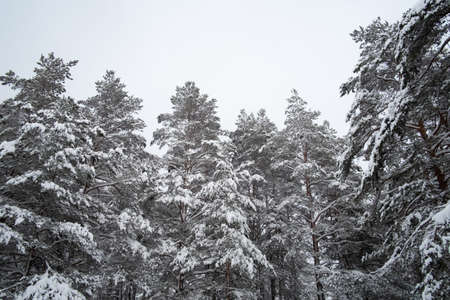 Pine forest covered with a thick layer of snow, gloomy and calm landscape