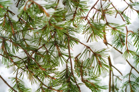 pine branch in the snow, texture