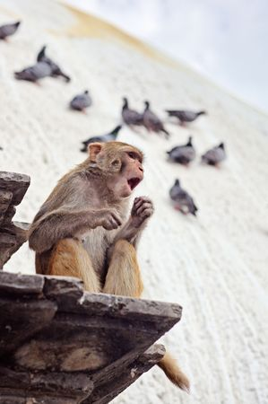The singing monkey on swayambhunath stupa, Nepal, Kathmandu Stock Photo - 7258860