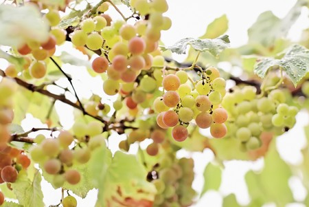 Bunches of white grapes with water drops, shallow depth of field, magic plastic and bokeh Stock Photo - 7319428