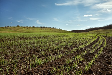 winter wheat: winter wheat field with new green grass on wide angle view