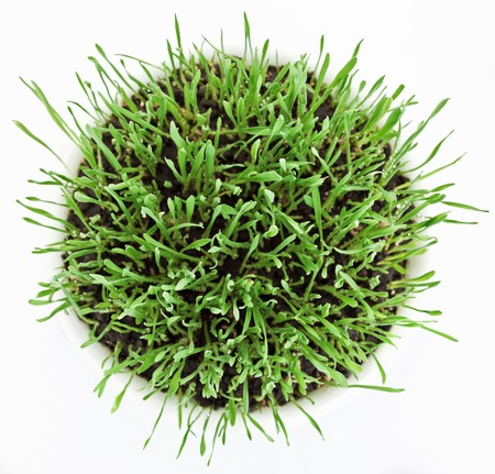 Fresh new green grass in white plate isolated on white background photo