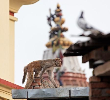 slink: Slink monkey on the wall in Swayambhunath, Kathmandu, Nepal