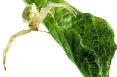 goldenrod spider: Fiore (granchio) ragno (Misumena vatia) su foglia verde su sfondo bianco
