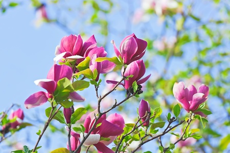 Pink abloom magnolia flower in sunny spring day in front of blue sky Stock Photo