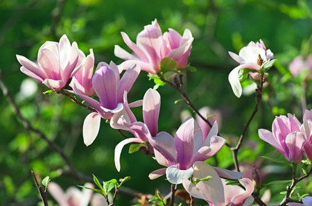 Pink abloom pair of magnolia flower with beautiful bokeh Stock Photo - 9567764