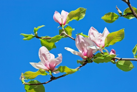 Pink abloom magnolia flower in sunny spring day in front of blue sky Stock Photo - 9567761