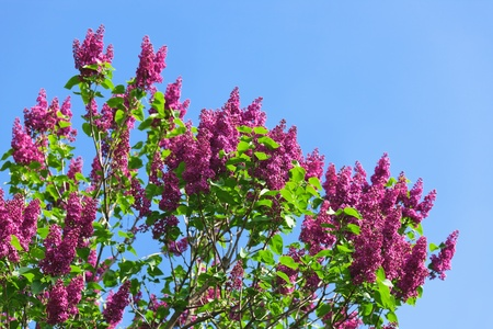 Bunch of violet lilac flower in sunny spring day in front of blue sky photo