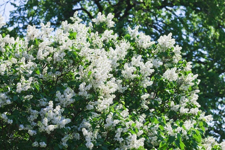 Bunch of white lilac flower in sunny spring day photo