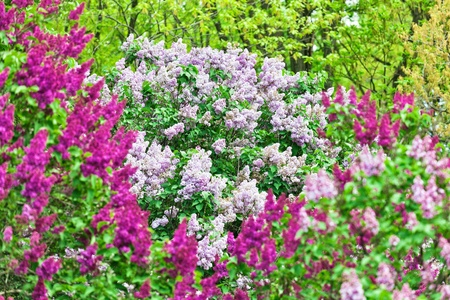 Bunch of violet lilac flower in sunny spring day photo