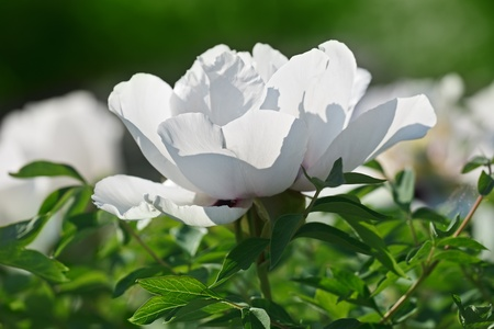 back lighting: Close-up view of gently white peony flower back lighting in sunny spring day Stock Photo