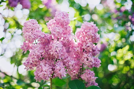Close-up pink lilac flower in front of lush foliage with magic bokeh photo
