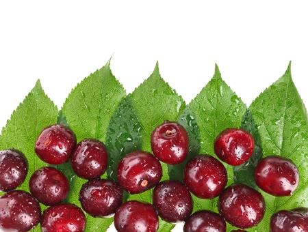 Many red wet cherry fruits (berries) on green leaves, isolated with copy space design ready