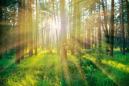 rising of sun: Bosque de pinos en la salida del sol, con cálidos rayos de sol Foto de archivo