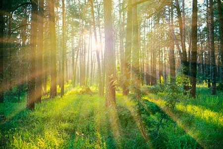 Pine forest on sunrise with warm sunbeams photo