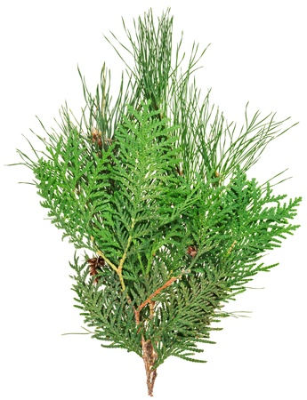 thuja: Thuja and pine twigs isolated on white, closeup view Stock Photo