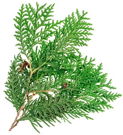 juniper tree: Thuja twig isolated on white, closeup view