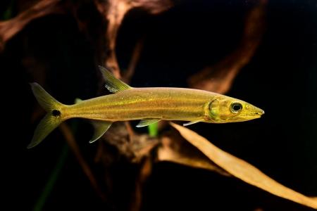 Freshwater Barracuda fish (Ctenolucius hujeta) swimming underwater Stock Photo - 16799096