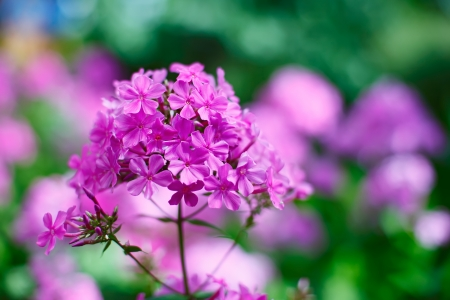 perennial plant: Purple garden phlox flowers bunch shallow depth of field shot