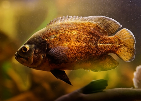 large cichlid: Oscar fish (Astronotus ocellatus) swimming underwater Stock Photo