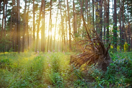 eradicate: Grubbed up the stump in pine forest on sunrise with warm sunbeams