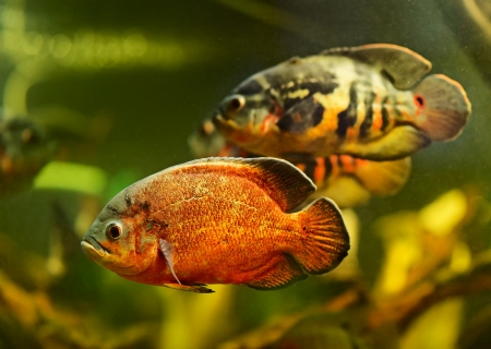 Oscar fish (Astronotus ocellatus) swimming underwater photo
