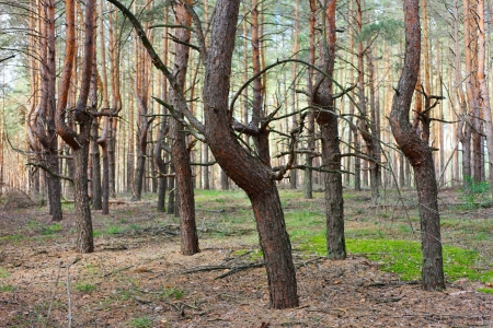 the thicket: Pine forest thicket with strange form of trees trunks
