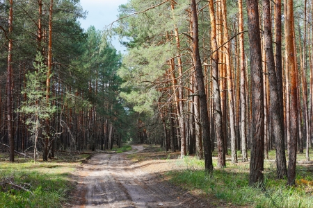 the thicket: Rural road in coniferous forest thicket, sunny day