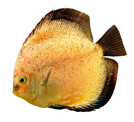 symphysodon discus: Discus fish  Symphysodon  swimming underwater Stock Photo