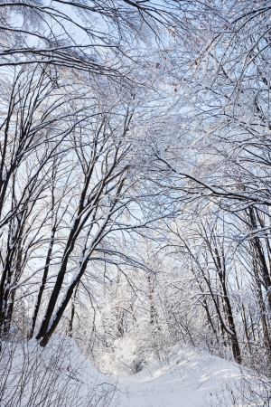 Winter forest road under crown of a trees covered with snow Stock Photo - 16918225