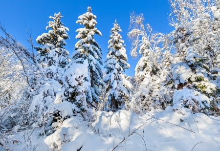 Winter forest depths with spruces covered by hard snow Stock Photo - 16918168