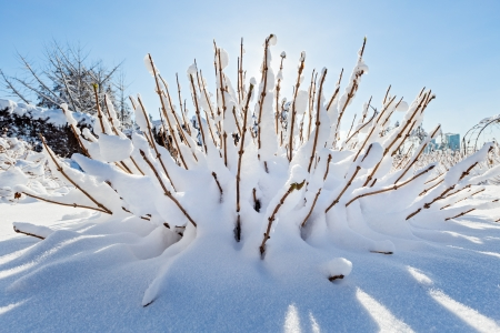 frost covered: Snow covered bush in front of blue sky, wide angle view Stock Photo