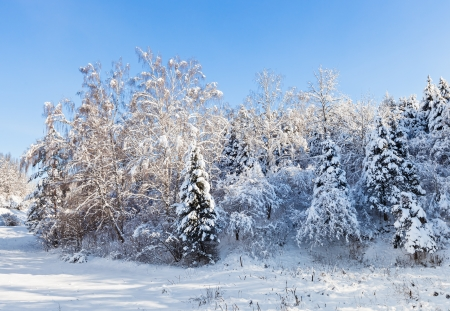 Beautiful winter forest landscape with trees covered by hard snow