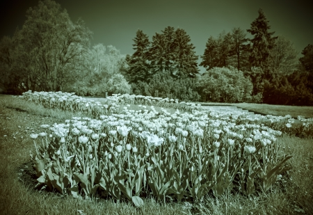 Infrared (IR) landscape with tulips flower bed photo