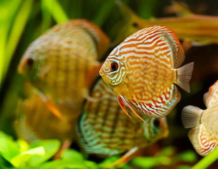 fish breeding: Discus fish (Symphysodon) swimming underwater Stock Photo